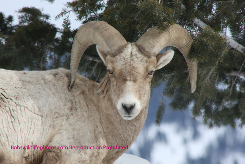 A young ram near the Yellowstone. Looks a little upset.
