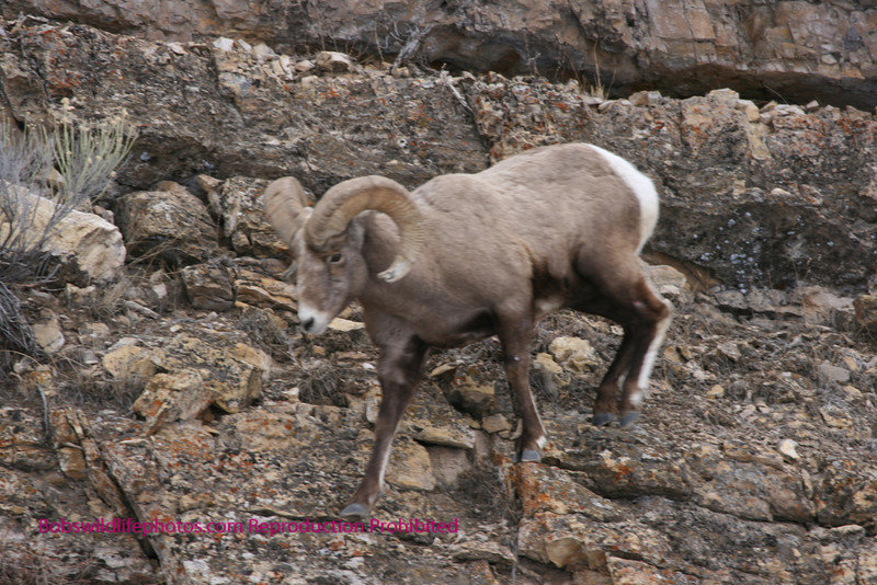 Big horn sheep moving on side of Lamar Valley.