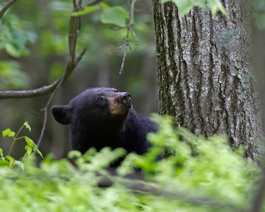 black bear, June in Shenandoah National Park, Virginia