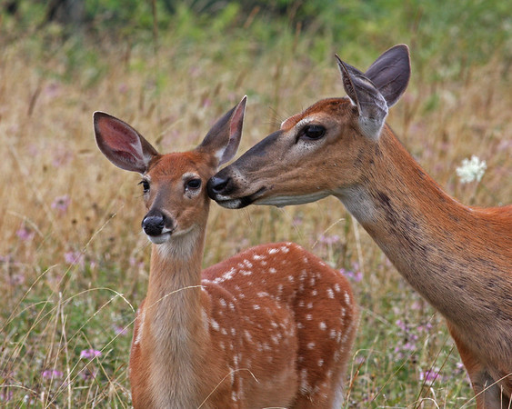 doe and fawn, August in Shenandoah National Park, VA