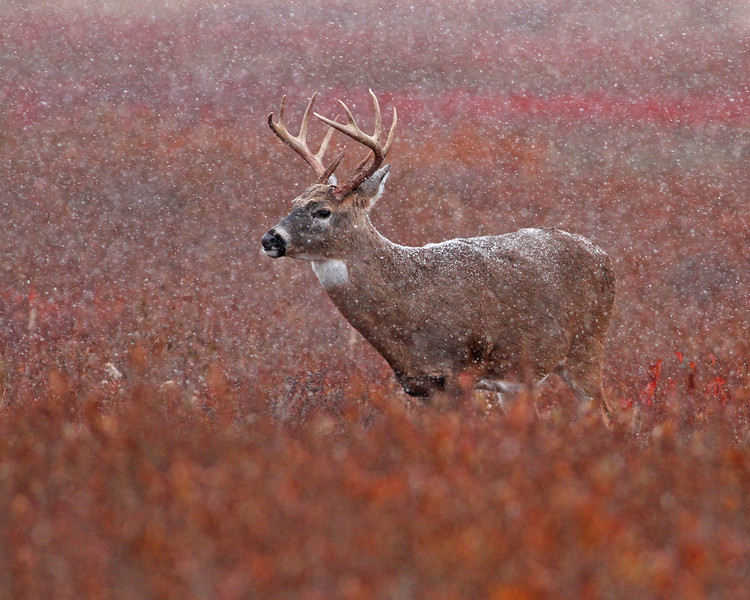 white tail buck in snowstorm, October in Shenandoah National Park, VA
