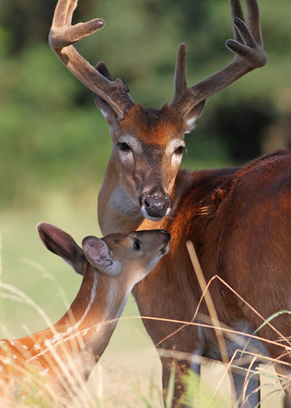 whitetail buck and fawn. August in Shenandoah National Park, VA