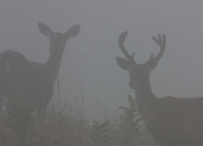 doe and buck in fog, August in Shenandoah National Park, VA
