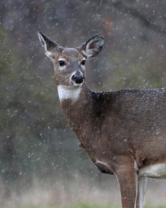 white tail doe in snowstorm, October in Shenandoah National Park, VA