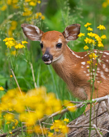 fawn, June in Shenandoah National Park