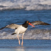 Oyster Catcher 093007_5334