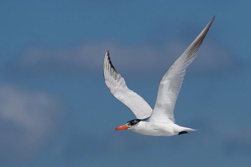 Royal Tern 092907_6555