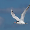 Royal Tern 092907_6555