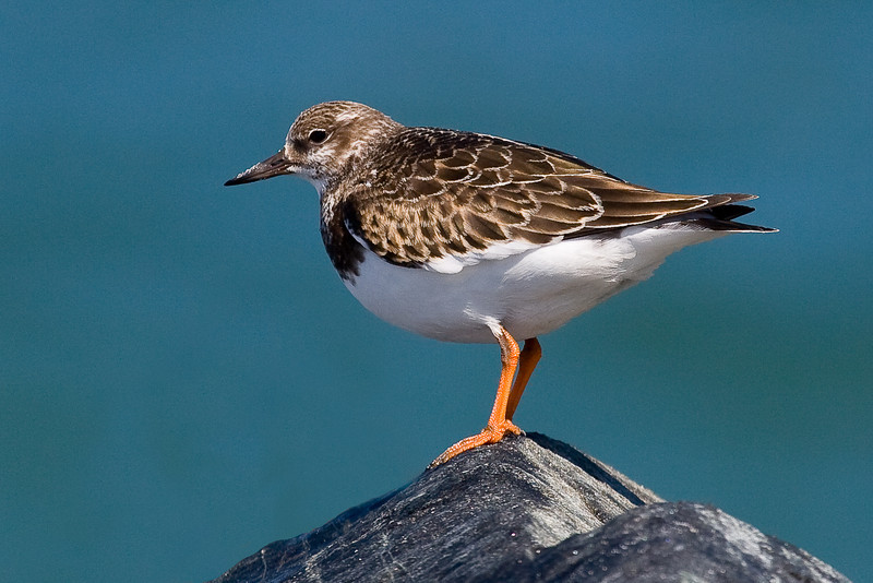 Ruddy Turnstone 092907_6316