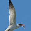 Royal Tern 092907_6088