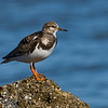 Ruddy Turnstone 123008_1263