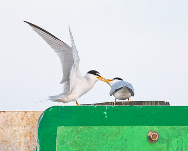 Least Terns Feeding