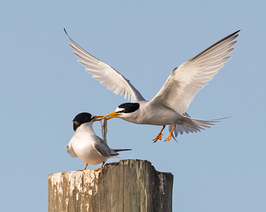 Least Terns Feeding Behavior