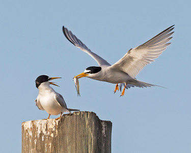 Least Tern Feeding Young