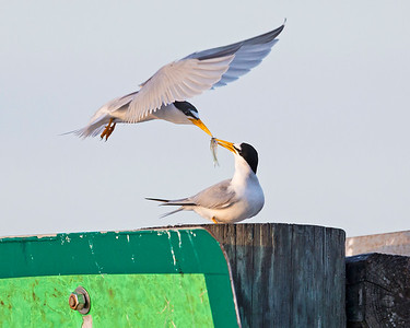 Least Tern Feeding Juvenile