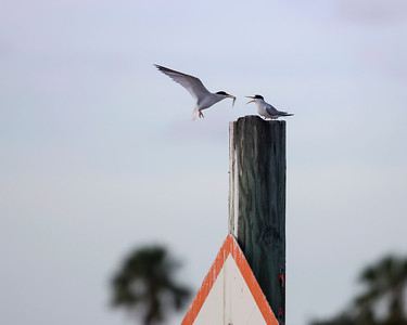 Least Tern Feeding
