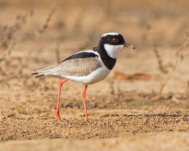 Pied Lapwing(plover)