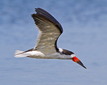 Black Skimmer Thousand Island's of Cocoa Beach