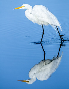 Egret on the Prowl
