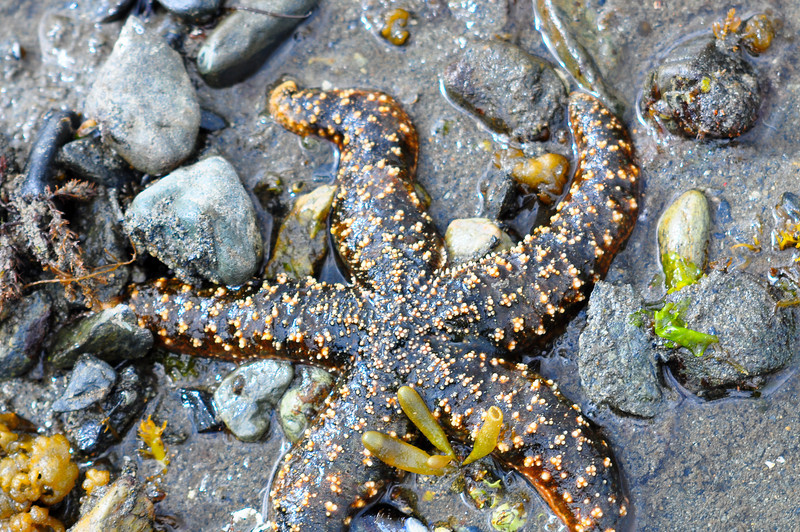 Mottled starfish