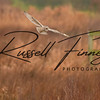 Short Eared Owl russell finney photography (4)