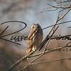 Short Eared Owl russell finney photography (14)