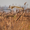 Short Eared Owl russell finney photography (2) - Copy