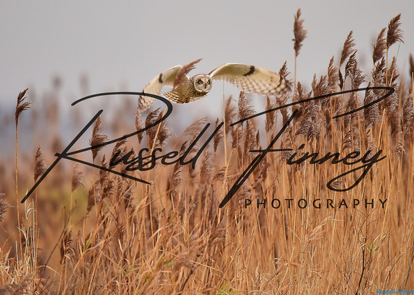 Short Eared Owl russell finney photography (1)