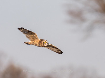 Short-eared owls 25 Jan 2018-2172