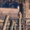 Short-eared owls 25 Jan 2018-2229