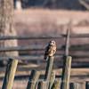 Short-eared owls 25 Jan 2018-2227