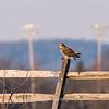 Short-eared owls 25 Jan 2018-2240