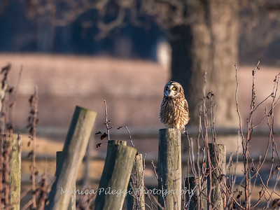 Short-eared owls 25 Jan 2018-2232