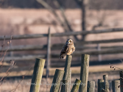 Short-eared owls 25 Jan 2018-2209
