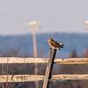 Short-eared owls 25 Jan 2018-2237
