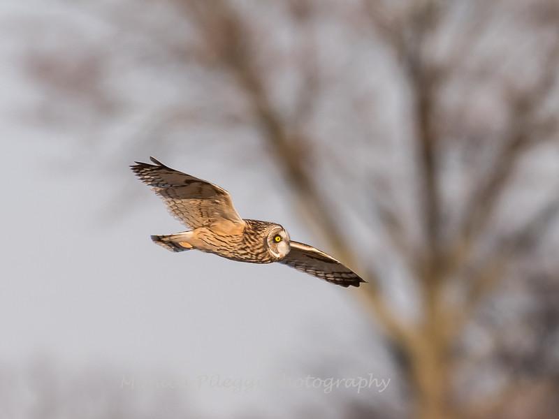 Short-eared owls 25 Jan 2018-2173