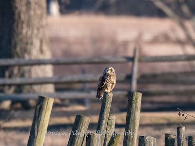 Short-eared owls 25 Jan 2018-2226