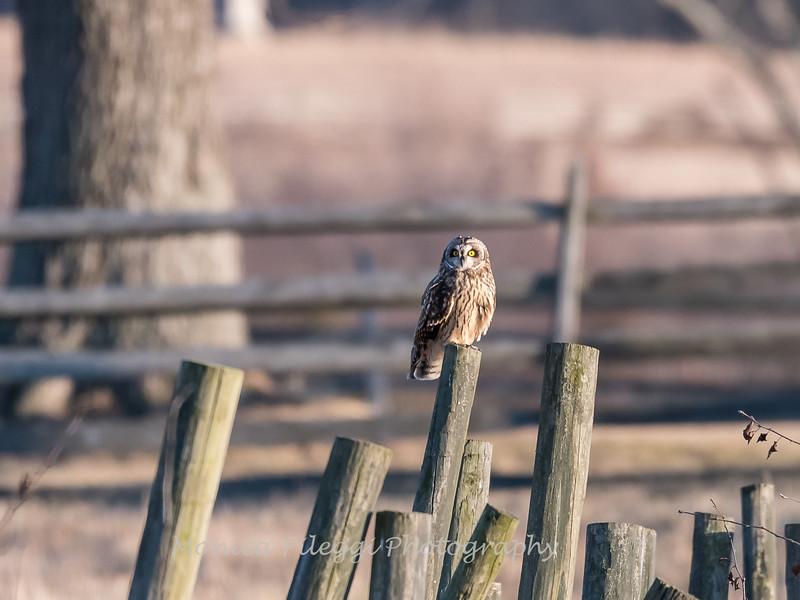 Short-eared owls 25 Jan 2018-2222