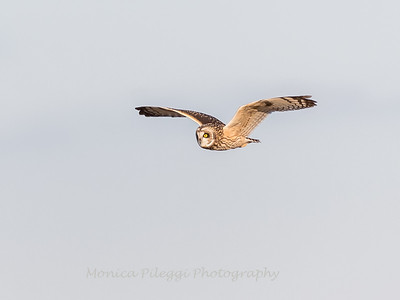 Short-eared owls 25 Jan 2018-2169