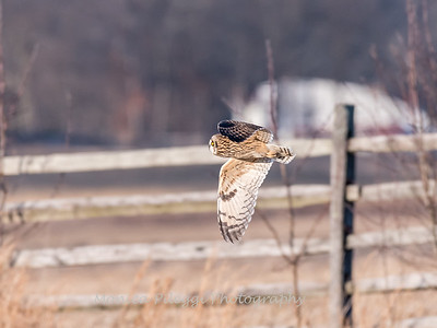 Short-eared owls 25 Jan 2018-2149