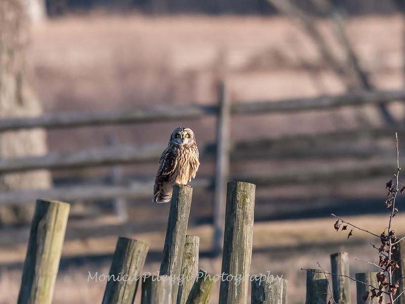 Short-eared owls 25 Jan 2018-2219