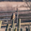 Short-eared owls 25 Jan 2018-2219