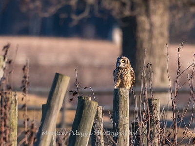 Short-eared owls 25 Jan 2018-2230