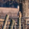 Short-eared owls 25 Jan 2018-2230