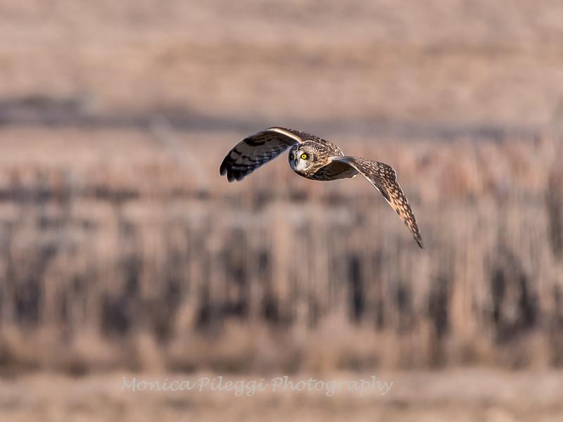 Short-eared owls 25 Jan 2018-2133
