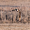 Short-eared owls 25 Jan 2018-2132