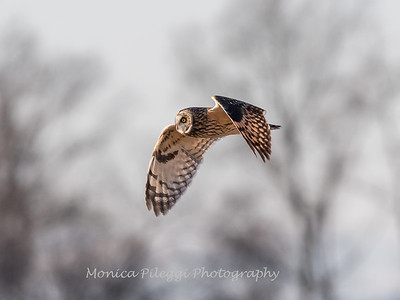 Short-eared owls 25 Jan 2018-2155