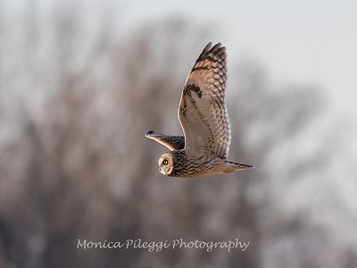 Short-eared owls 25 Jan 2018-2156