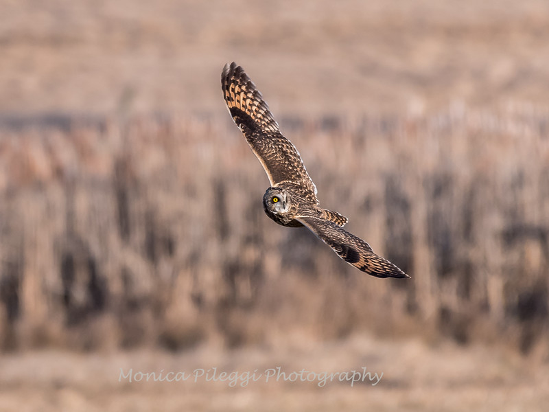 Short-eared owls 25 Jan 2018-2131