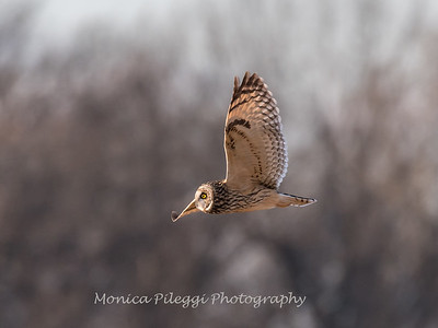 Short-eared owls 25 Jan 2018-2157